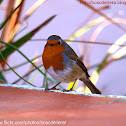 Pit-roig / Robin
