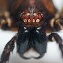Huntsman Spider (?) exuvia