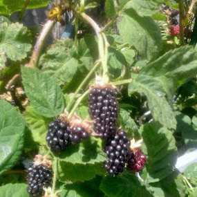 First Marion berries of the year.  Yum! by Shawna Morley - Food & Drink Fruits & Vegetables