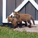 Red Fox (kits)