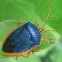Aqua green stink bug