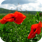 Red Poppy Live Wallpaper