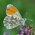 Orange Tip (male) - Aurore