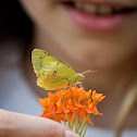 clouded yellow butterfly?