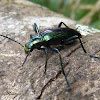 Metalic green longhorned beetle