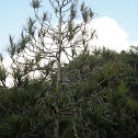 Madagascar screw-pine or common screw-pine