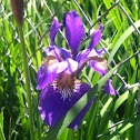Blood Iris
