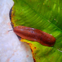 Indonesian land slug