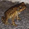 Hoppy Toad