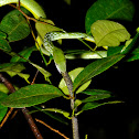 Green Vine Snake feeding on Large Scaled Shieldtail