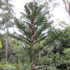 Living Fossil - Wollemi Pine