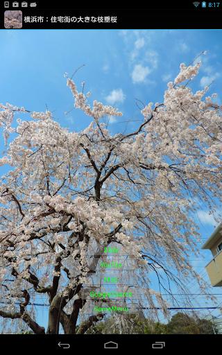 横浜市:住宅街の大きな枝垂桜 JP143