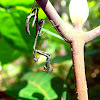 Dead Leaf Mantis's Nymph