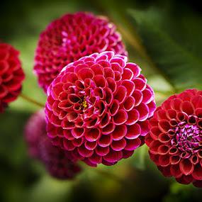 by Zdenka Rosecka - Flowers Flower Gardens