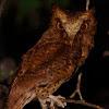 Serendip Scops Owl