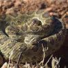 Mohave rattlesnake