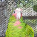 Cuban Amazon