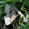 The Bent-line Carpet Moth