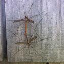 Crane flies (mating)