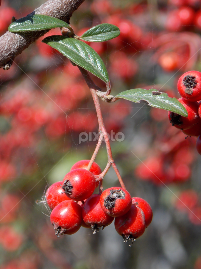 Red all around  by Dijana Ristova - Nature Up Close Trees & Bushes ( red, park, bushes, sunny, day, bokeh, berries, , green )