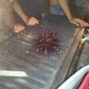 wana (sea urchin)