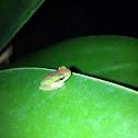 Pearson's tree frog