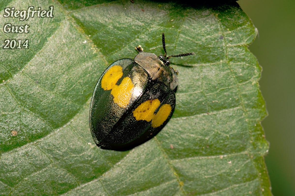 Yellow & Black Tortise Beetle