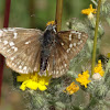 Yellow Banded Skipper
