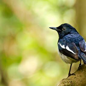 Look  by Shibasish Saha - Animals Birds ( colors, candid, forest, birds,  )