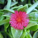 Sword-leaved Mesembryanthemum