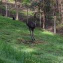 Eastern Grey Kangaroo (juvenile)