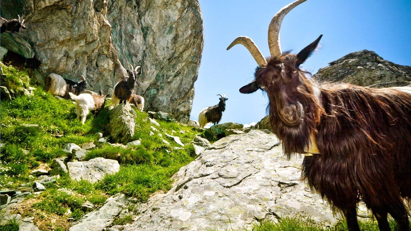 goat wallpaper android apps on google play