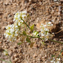 Peppergrass bush