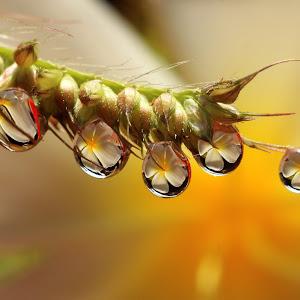 flower dews.jpg