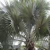 Bismarck palm / Silver Bismarck