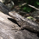 Texas Spiny Lizard (Female)