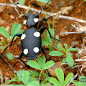 six-spot ground beetle
