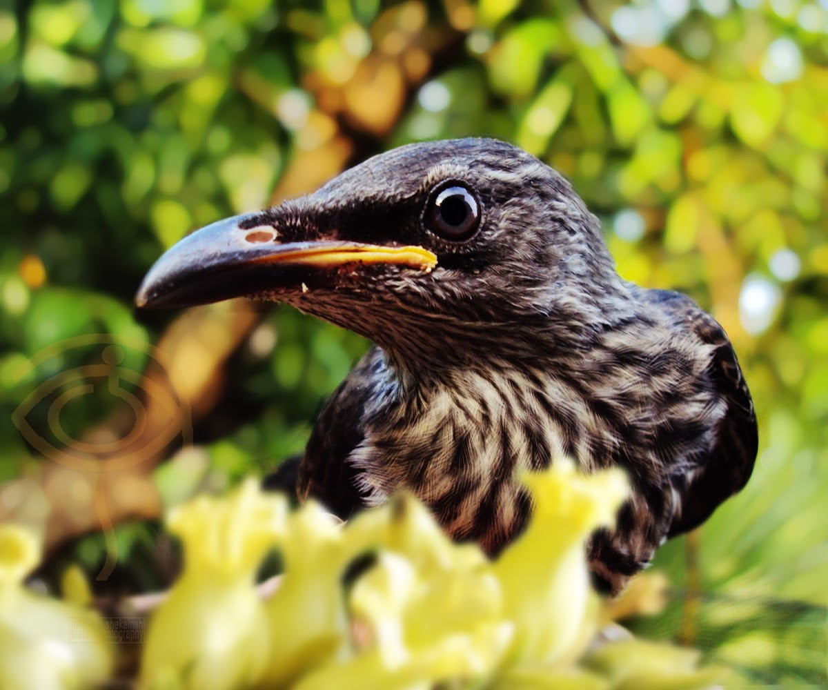 Asian glossy starling (immature)