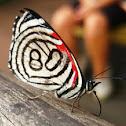Mariposa Diaethria candrena 80