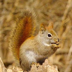 Tasty Snack by Kimberly Davidson - Animals Other Mammals ( nature, red squirrel, wildlife, squirrel,  )