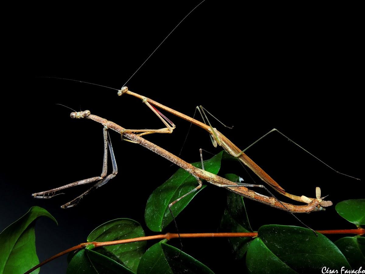Louva-a-deus graveto / Stick mantis