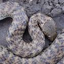 De Vis Banded Snake