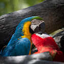 Blue and Yellow, and Red and Green Macaws
