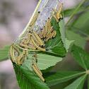 Tent Caterpillar on Red Buckeye