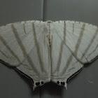 Uraniidae Moth