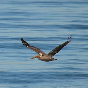Pelican by Ed Hanson - Animals Birds ( water, bird, flying, nature )