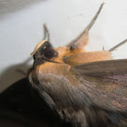Old Southern Lady Moth -2