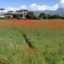 Red poppy, papaveri rossi