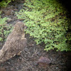 Búho/ Lechuza campestre. Short-eared owl