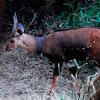 Antelope - Bushbuck; Swahili - Mbawala